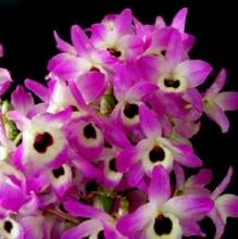 Fuschia Nobile Dendrobium