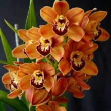 Orange Cymbidium