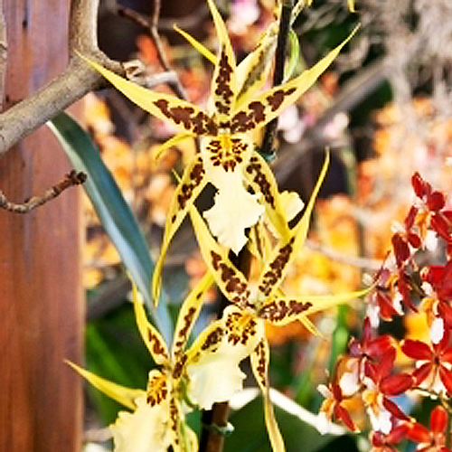 Spider Orchid.jpg