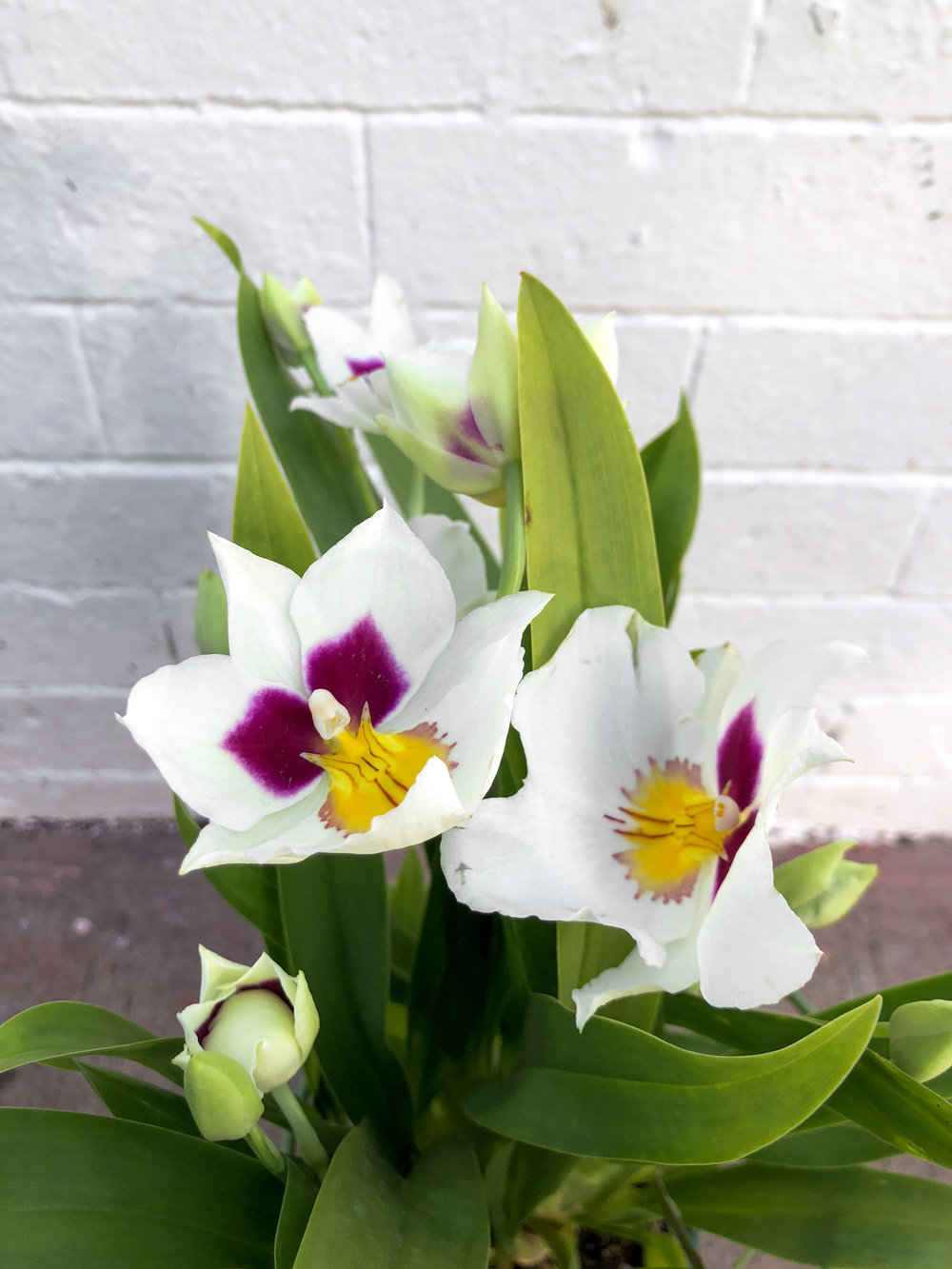White&Purple with Yellow Center