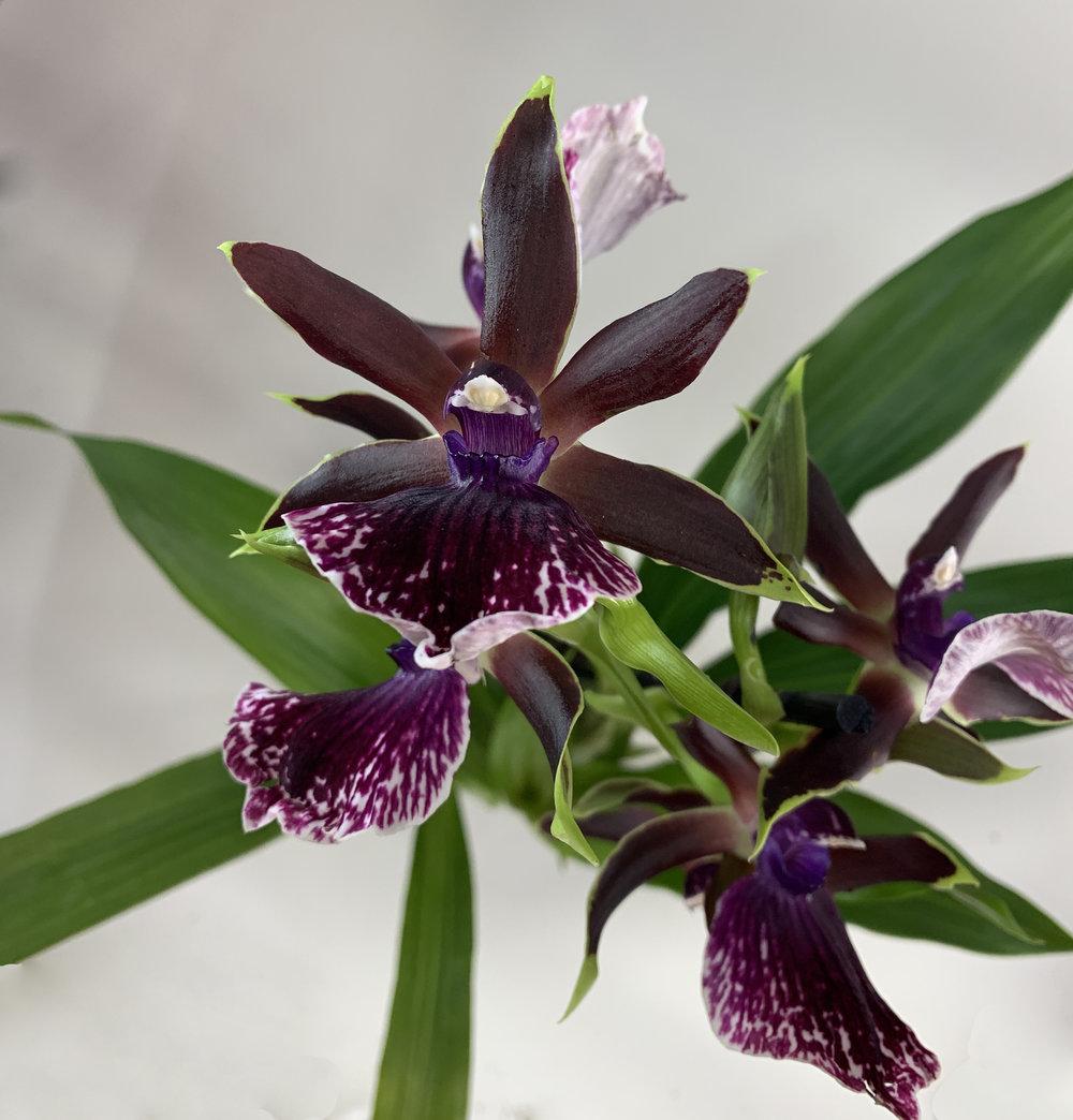 Dark Burgundy with Purple Variegated Lip