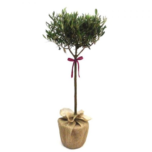 9. Olive tree, £34.99 by Giftaplant.com