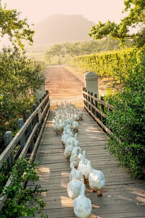 ducks-on-a-bridge.jpg