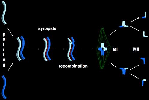 Cartoon of meiosis