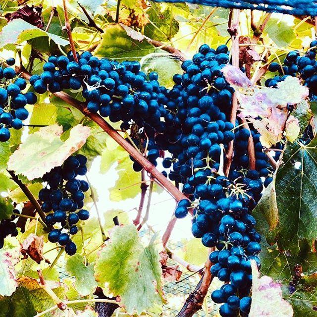 Grapes are bursting in readiness for harvest at Oakleigh Vigneto.  #oakleighvignetoweddings #vineyardwedding #bathurst #orange #italianvintage