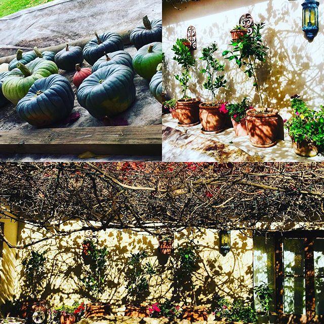 Oakleigh Vigneto Pumpkin harvest and lemon trees and geraniums into the lemon house for winter.  Snow tonight! #oakleighvignetoweddings #weddingproduce#italianwedding #orangensw #bathurst