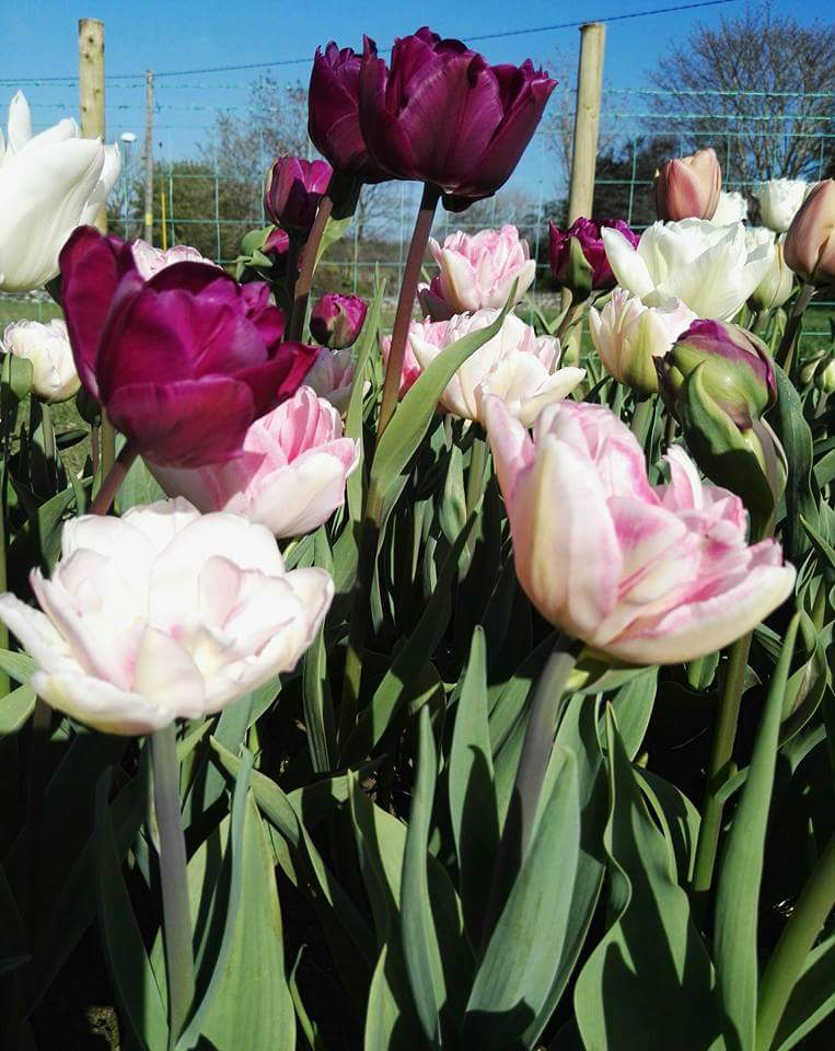 - Some of last year's tulips.