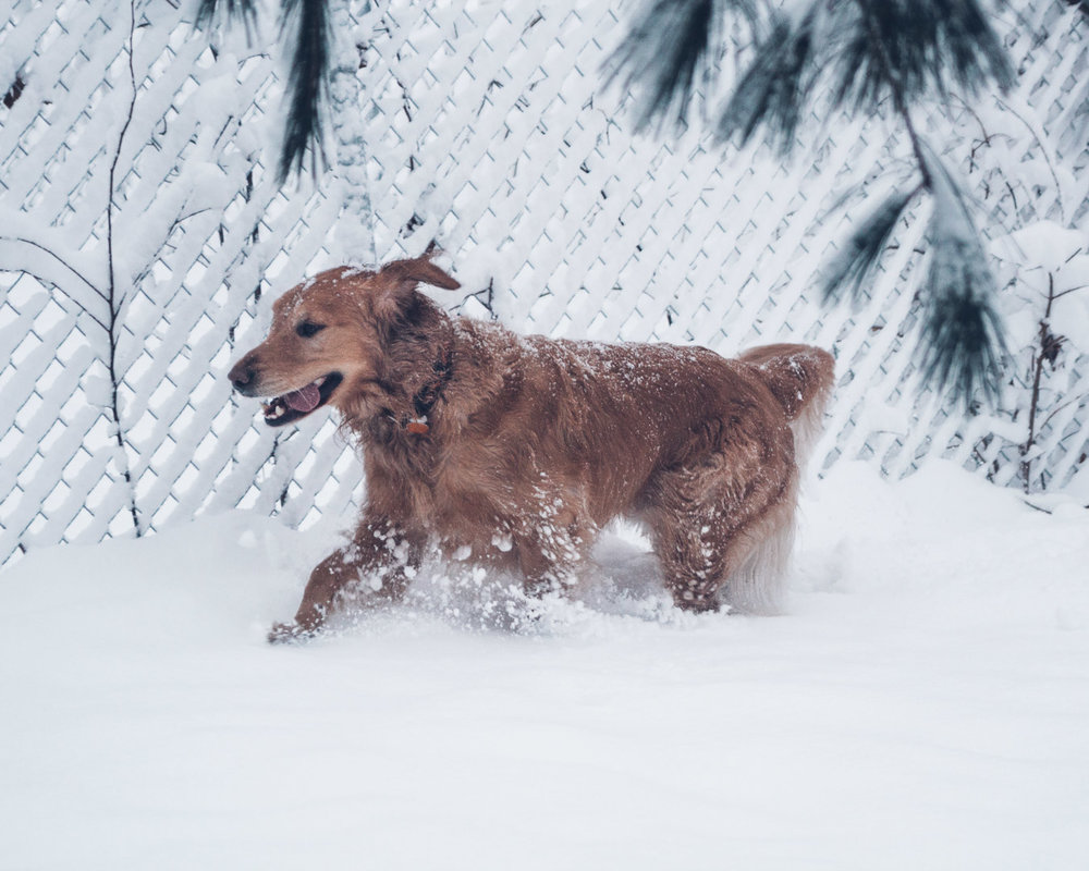 "Our dog, Taz, loving the 8-9"" of snow! He is the inspiration for ""Ollie"", the dog in every one of the Bandana Acres books."