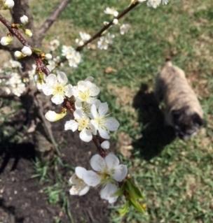 Fluffy Farm Pug added for cuteness.