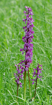 220px-Orchis-mascula-Formation