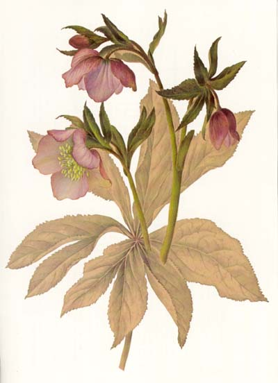 Painting_of_a_hellebore_by_Lydia_Shackleton_gouache_and_watercolour