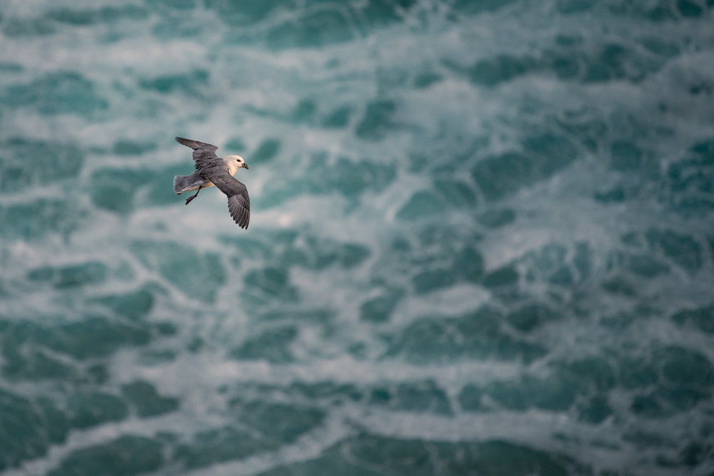 A northern fulmar in flight.