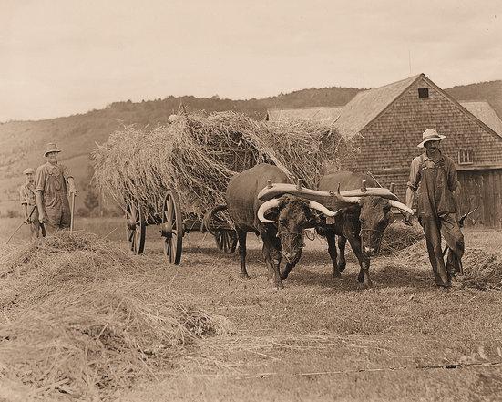 Oxen, grain 2.jpg