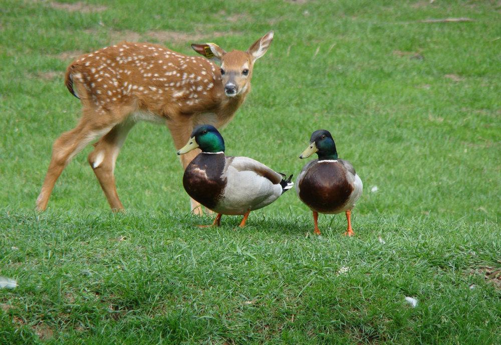 Deer & Ducks