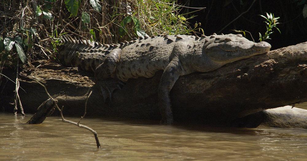 Costa-Rica-crocodile.jpg