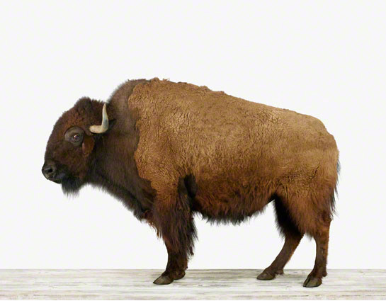 Animal-Art_American Buffalo-01.jpg