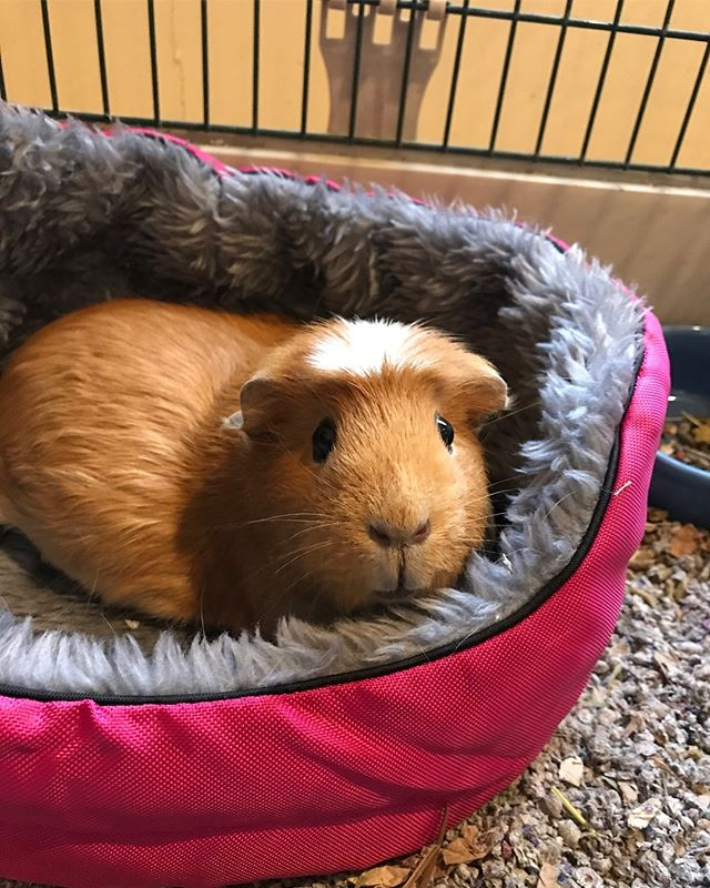 Rest in peace, Daisy darling. You were a sweetheart of a guinea pig and I'm going to miss you so much. I'm glad we were able to give you a happy home for the time we could. 💚💚💚
