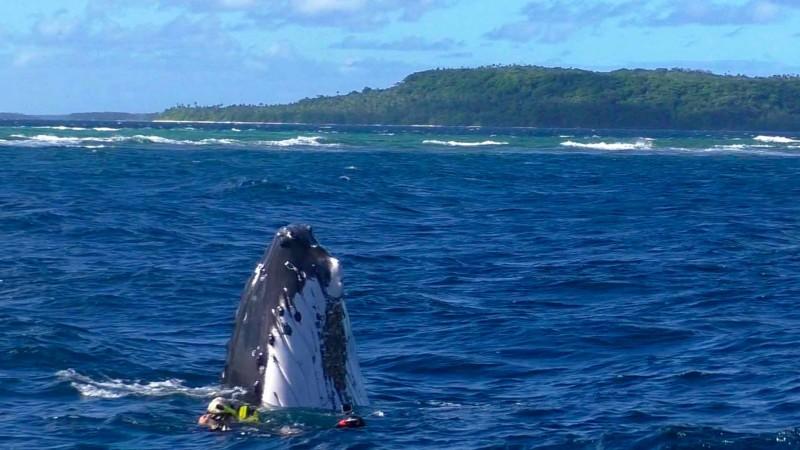 Hakula Lodge Tonga_Whale1_Neiafu.jpg