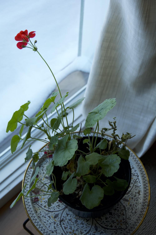DSC_2861 winter geranium peering....1500P copy.jpg