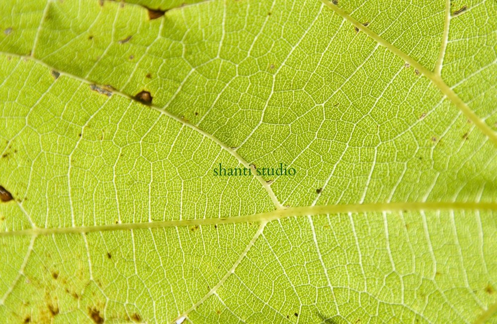 DSC_9500 LEAF CLOSEUP HORIZONTAL original! 1500 pix copy.jpg