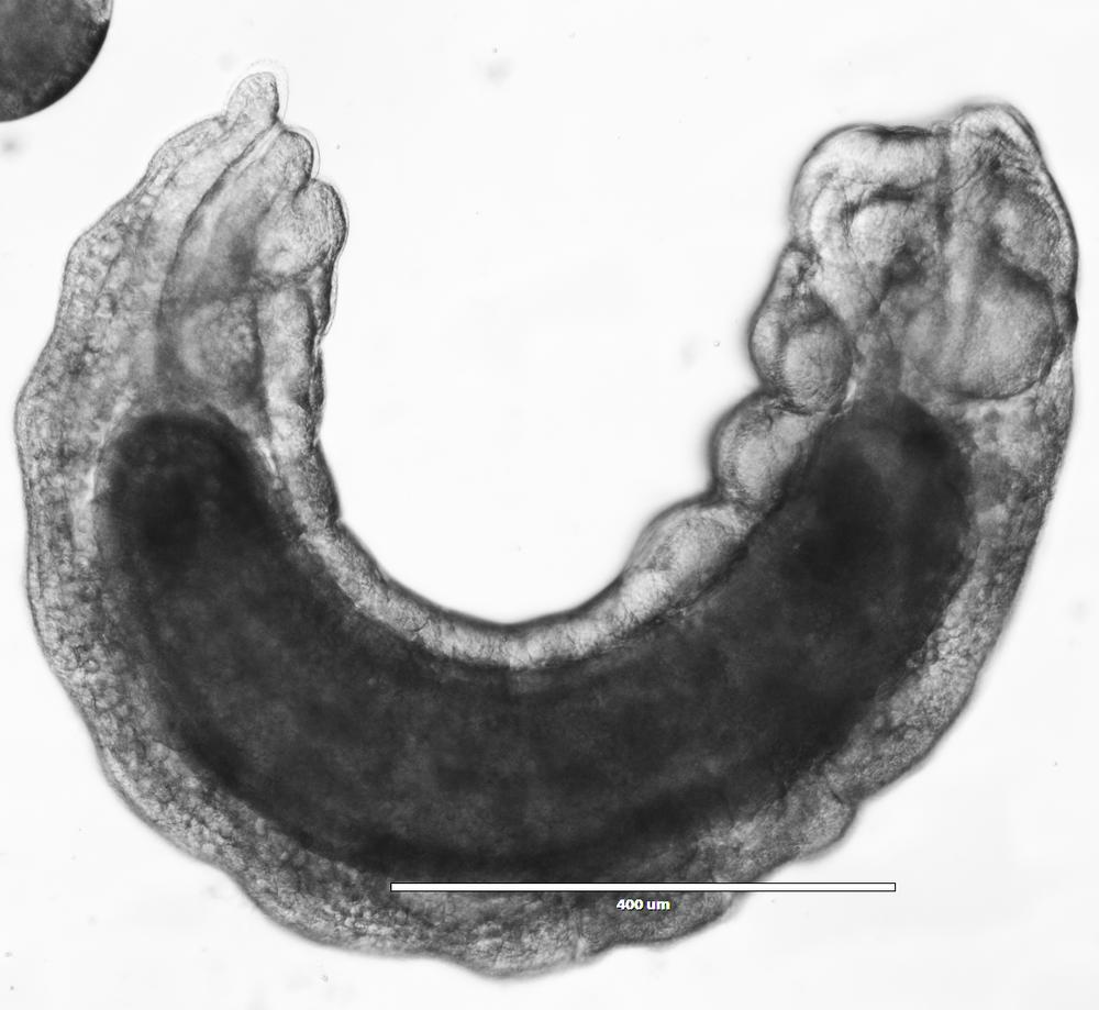 aphidius 144h.png