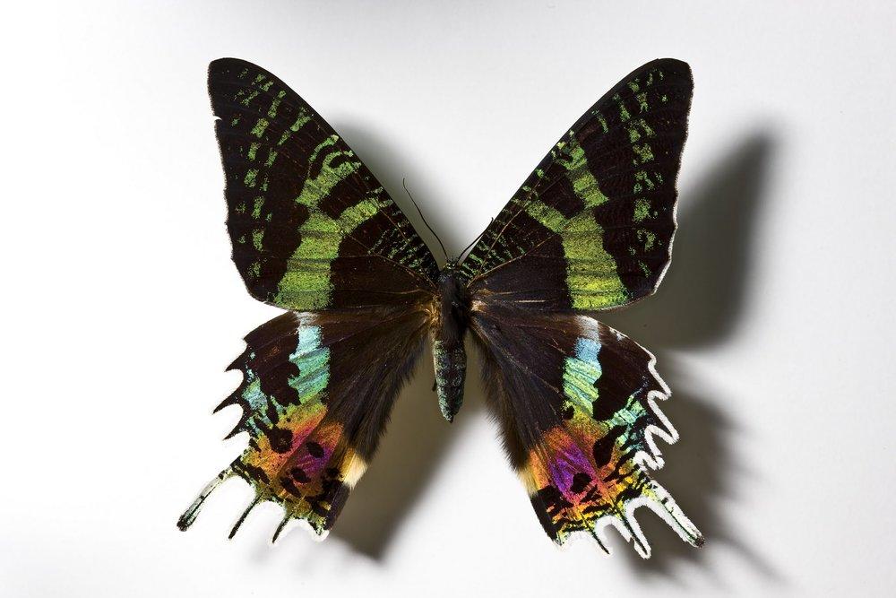 Uranidae2-1000-2 copy.jpg