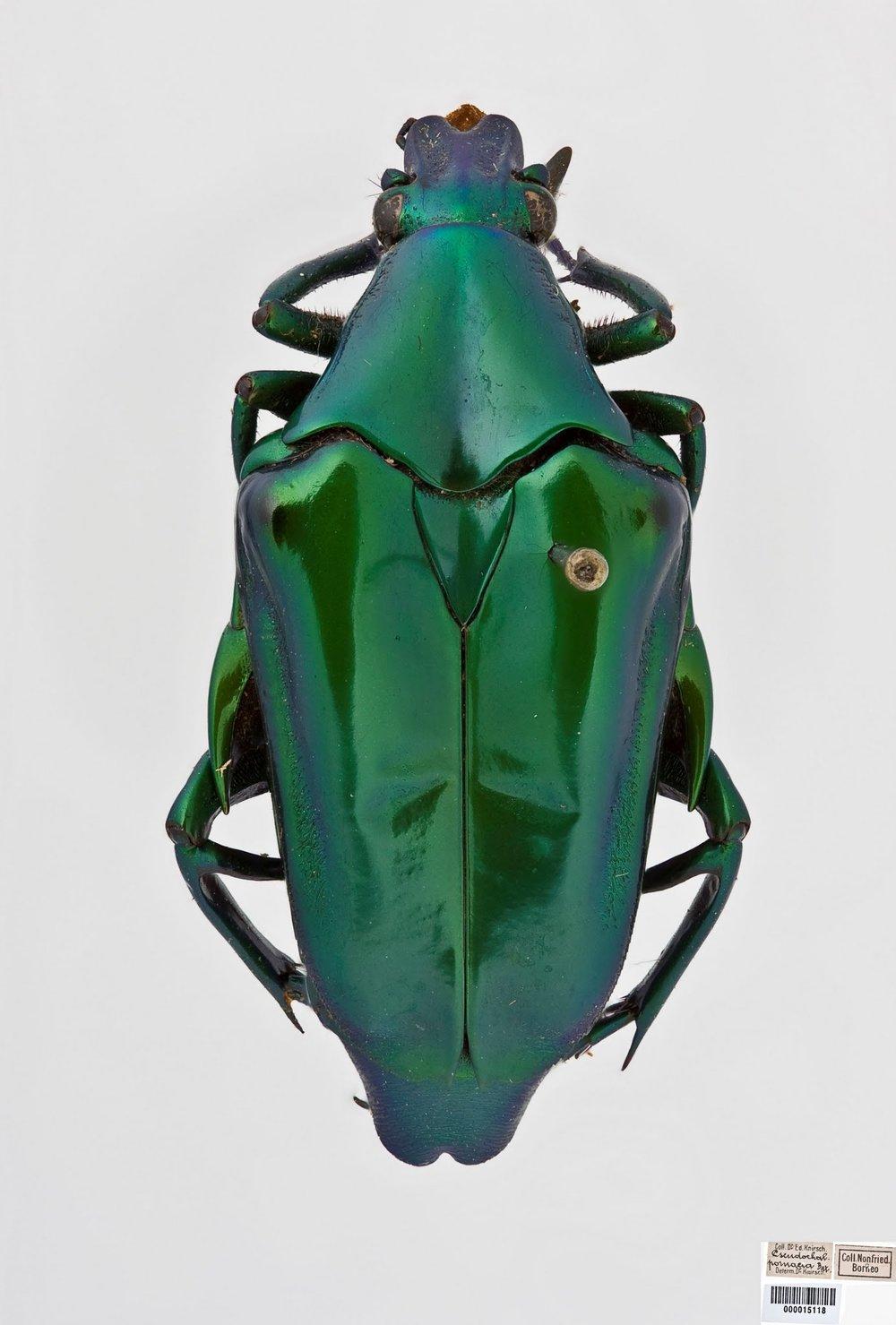 Pseudochalcothea auripos copy.jpg