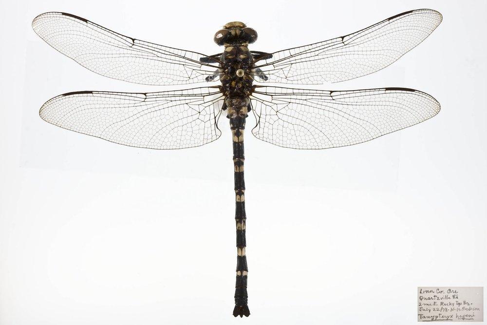 Tanypteryx hageni 3 copy.jpg