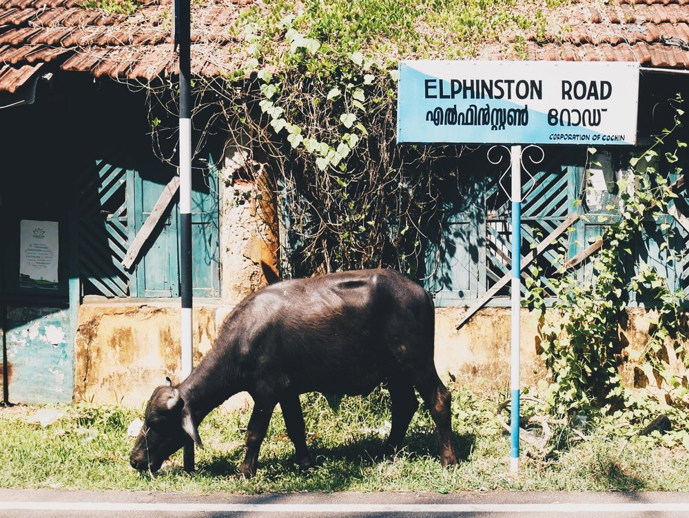 Our first cow-on-road sighting! On the first day, I was very upset with cow to cow poo ratio (like 1:500) -more cows please! Sure we will see more as we move north!Fort Kochi.