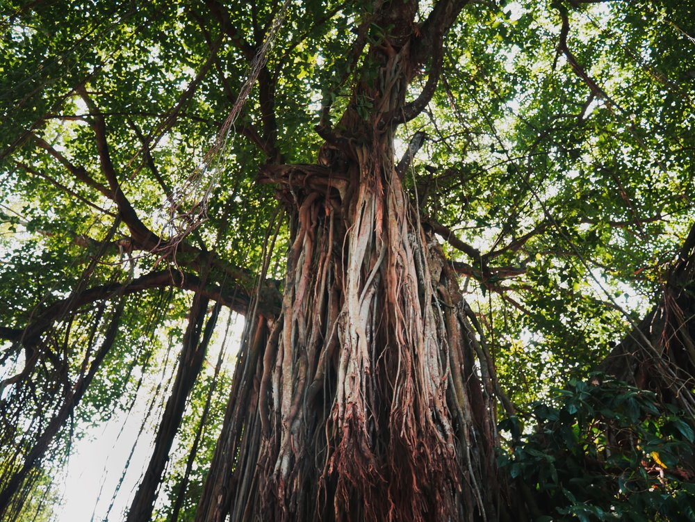 Kochi is littered with giant majestic trees and it is the best.