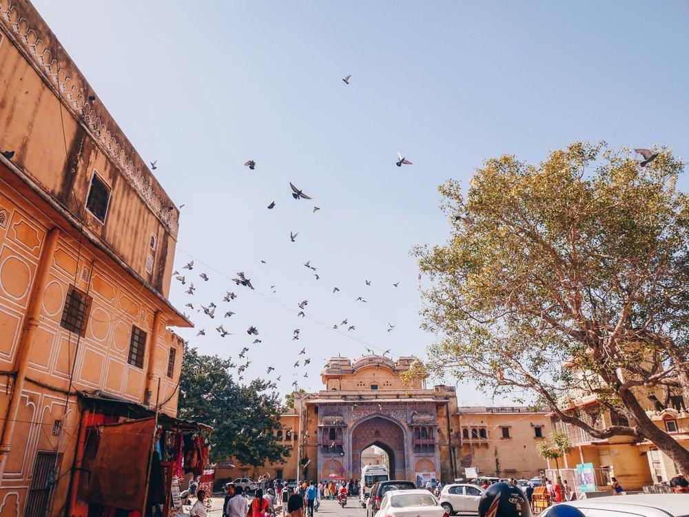 Pigeons Galore