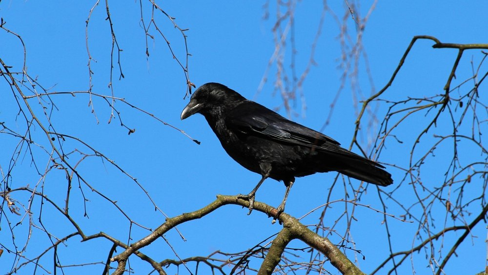 An Early Morning Stroll With Crows -
