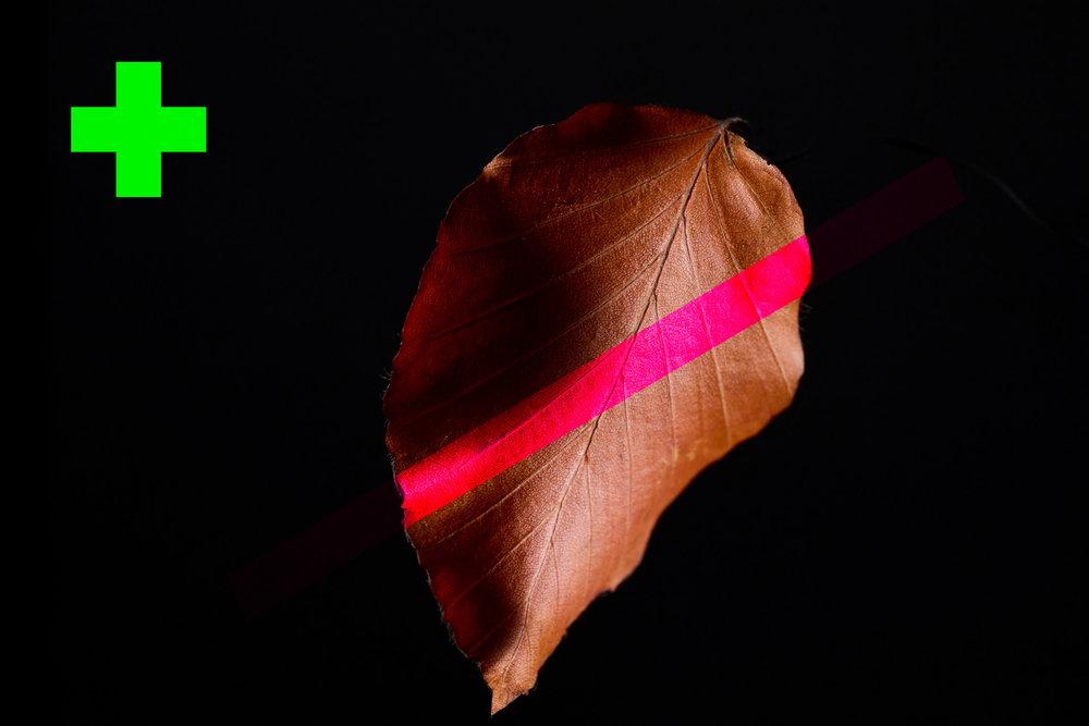 beech leaf 1.jpg