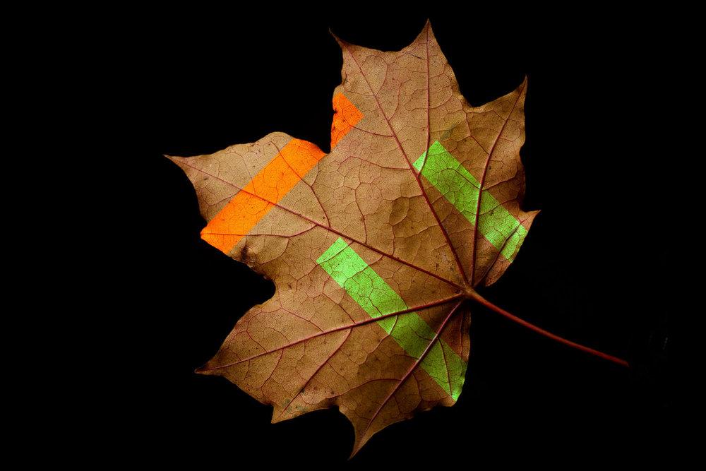 Sycamore Leaf 2.jpg