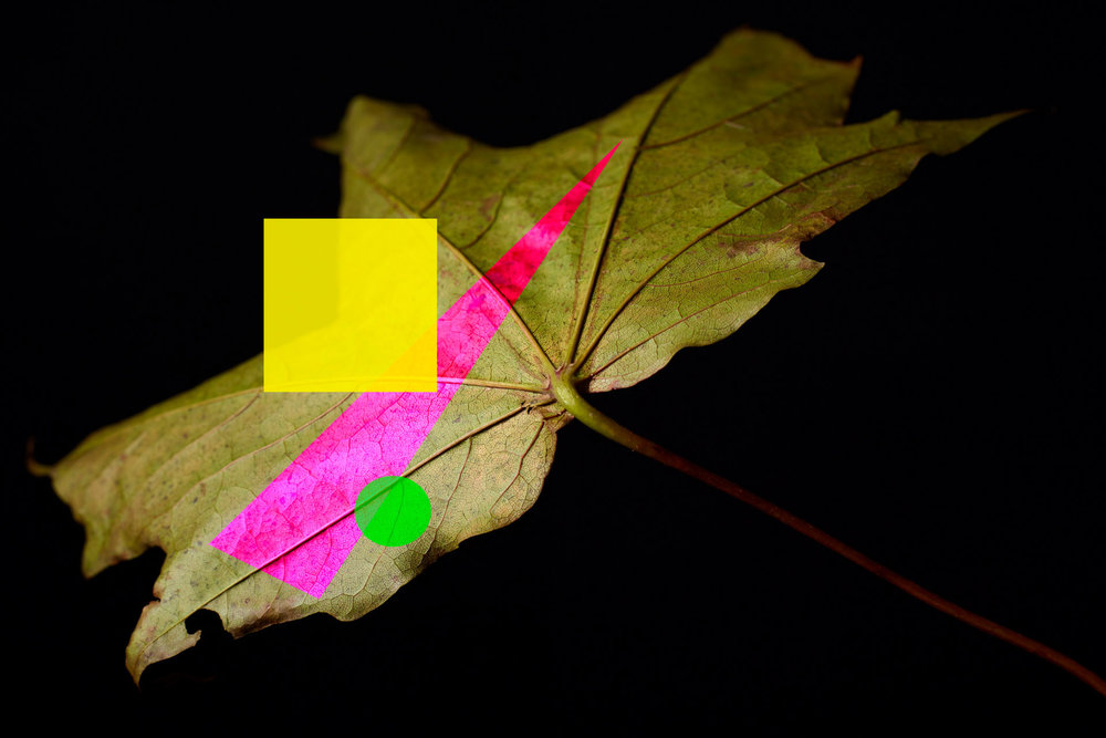 Sycamore Leaf 1.jpg