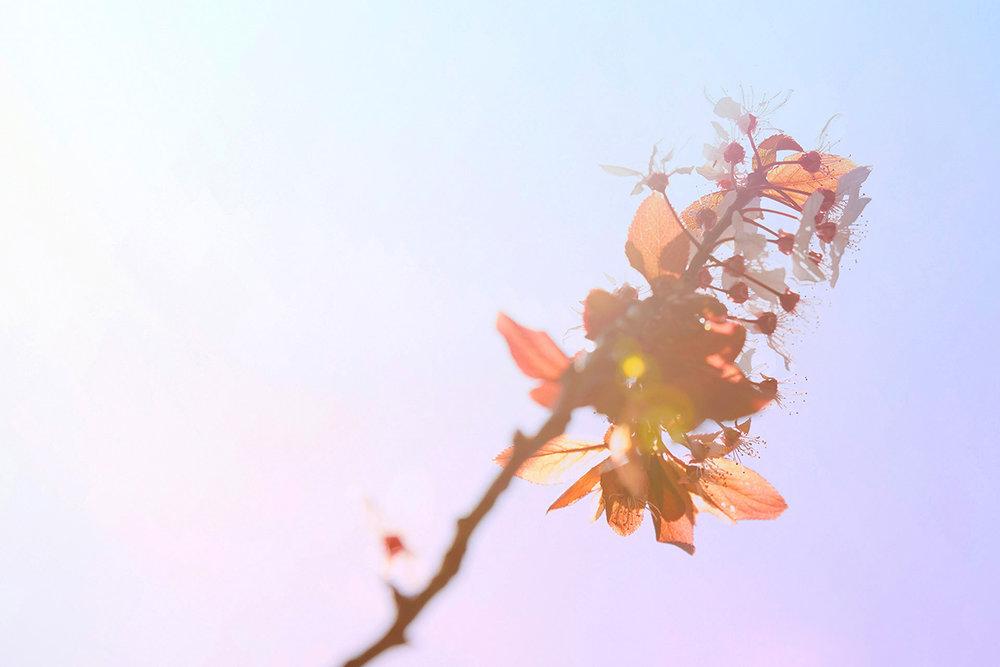 blossom 2 op.jpg