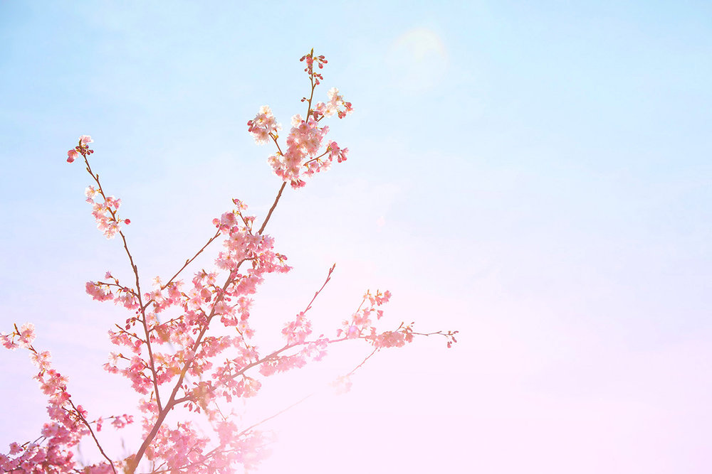 Cherry 1 op.jpg
