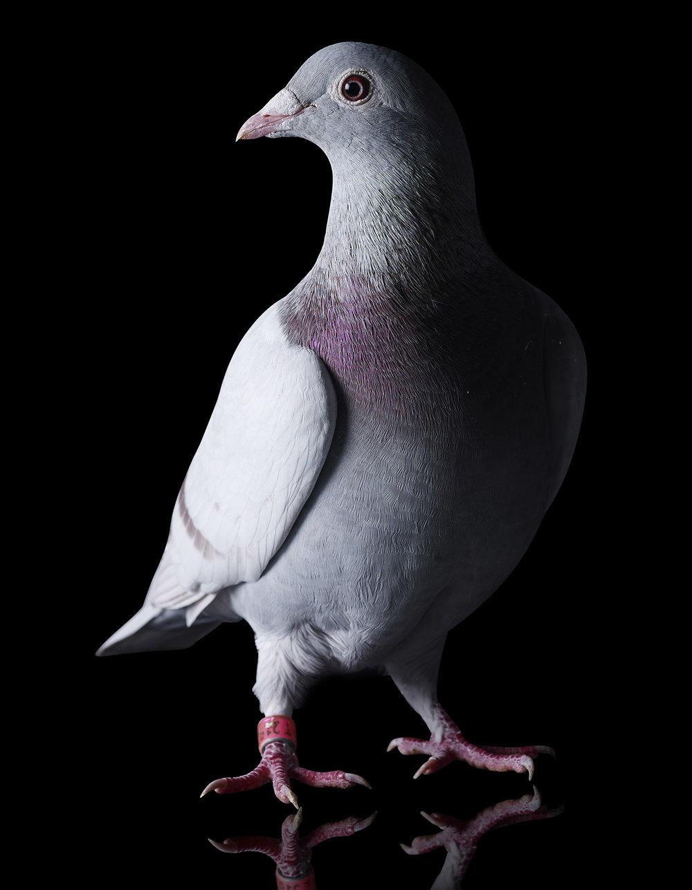 pigeon cover.jpg