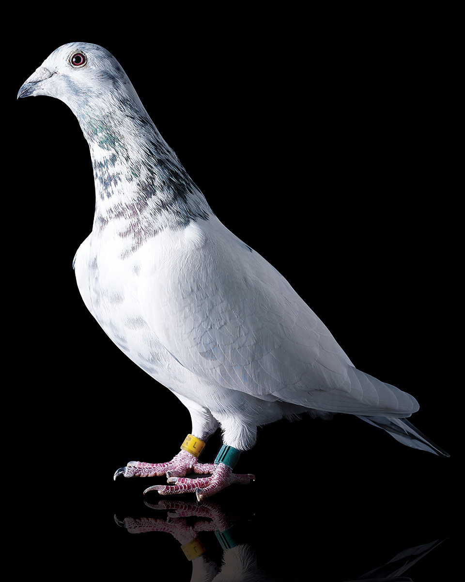 Pigeons Studio 160102.jpg