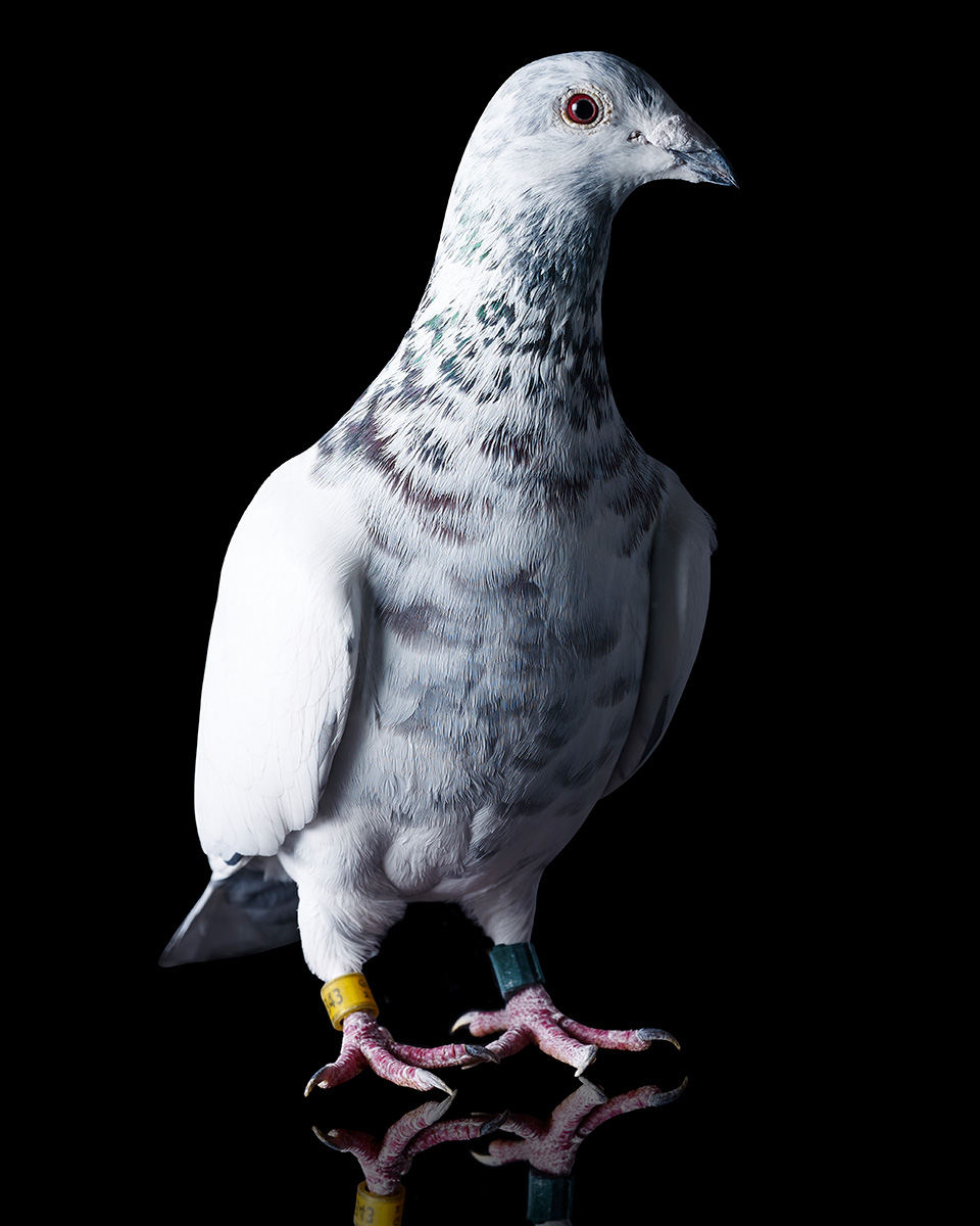 Pigeons Studio 160116.jpg