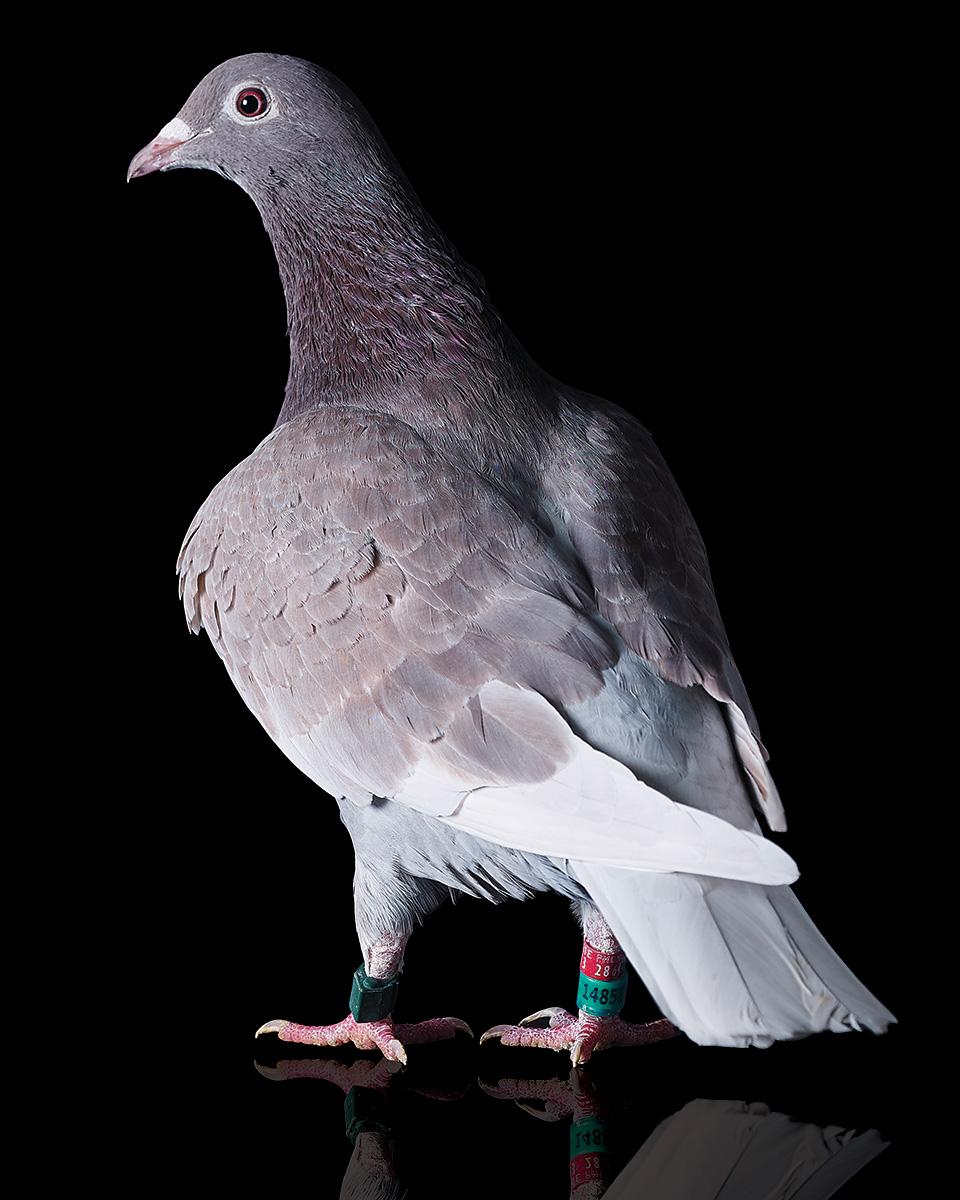 Pigeons Studio 160226.jpg