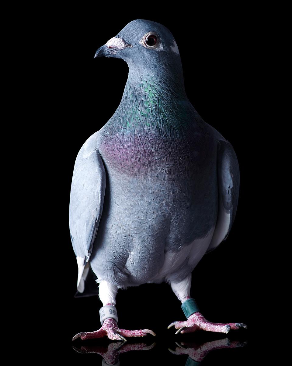 Pigeons Studio 161418 1.jpg