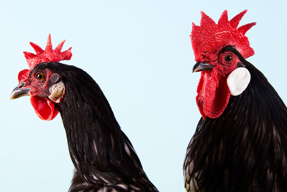 Andalusian Bantam cock and hen 6377.jpg