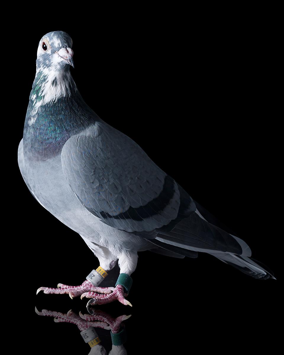 Pigeons Studio 160175.jpg