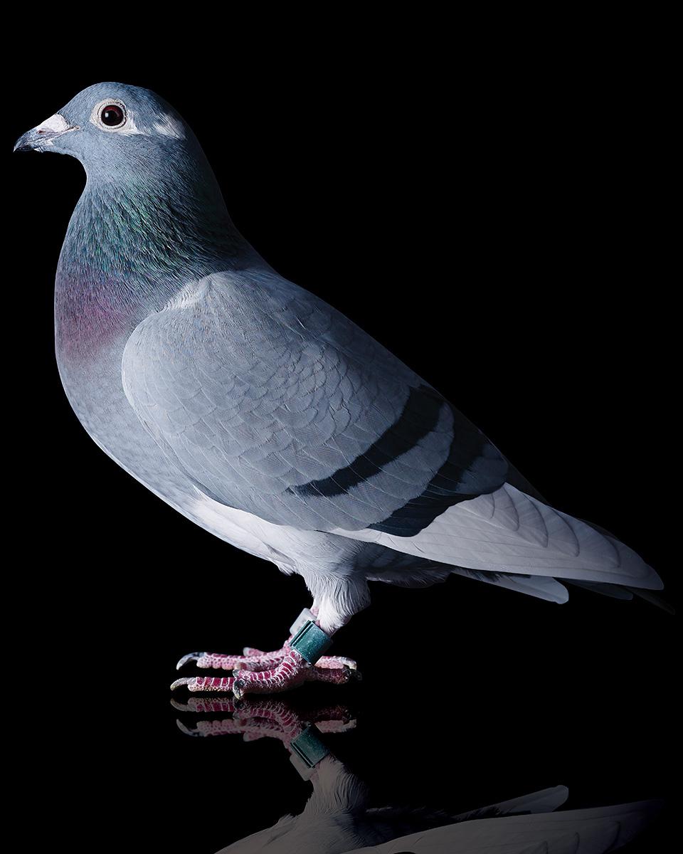 Pigeons Studio 161319 1.jpg