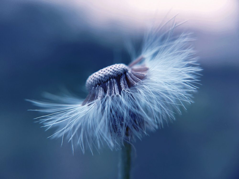 dandelion free.jpg