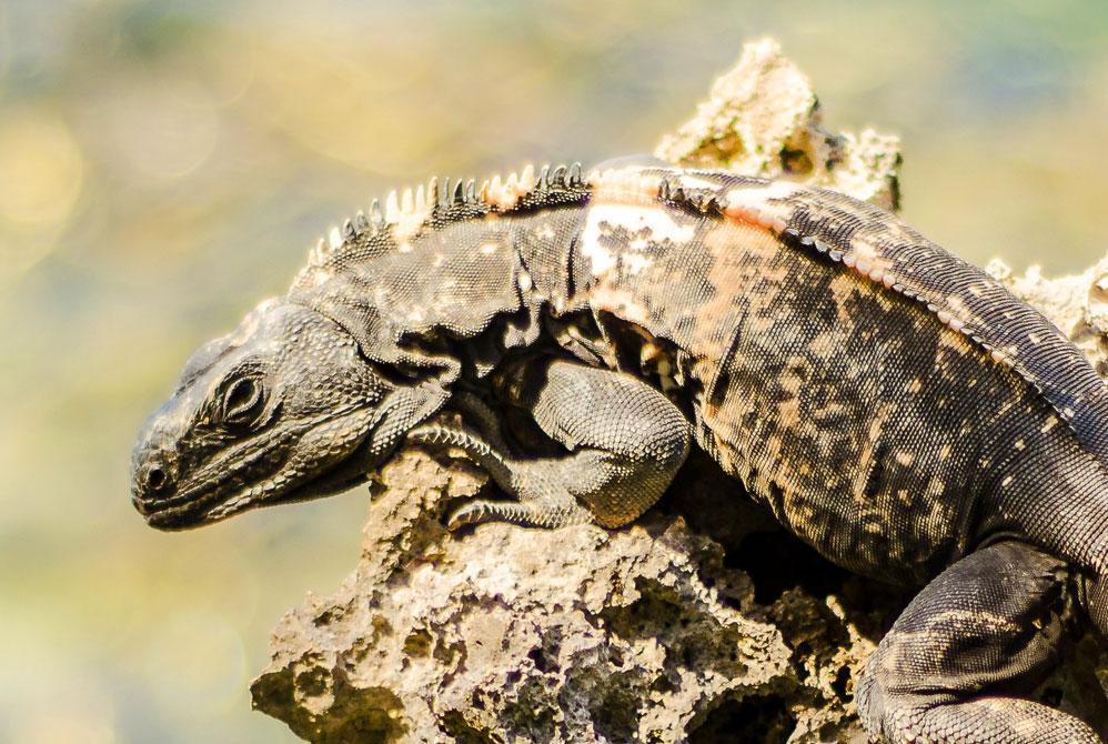 Black-Iguana-Roatan2.jpg