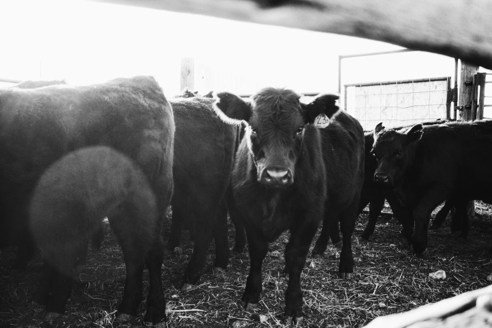 Older broken mouth cows, due to calve April and May. Preferably black but would take baldies too.  Bred to Black Angus, red angus or hereford.  Would need re-checked before delivery