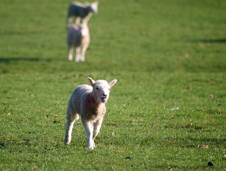 "Image: "" Skipping Lamb "" by  Andy Oakley  is used by  permission"
