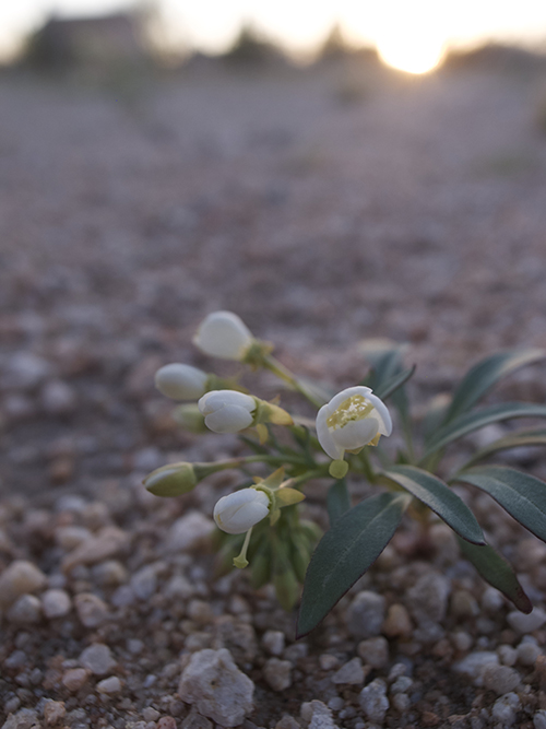 desert flower copy